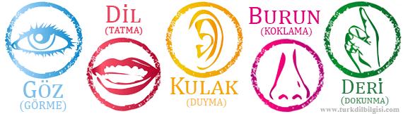 Somut İsimler – Beş Duyu Organımız